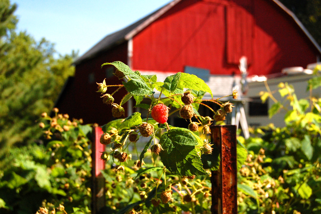 Raspberries at the barn - Cannon Falls, MN