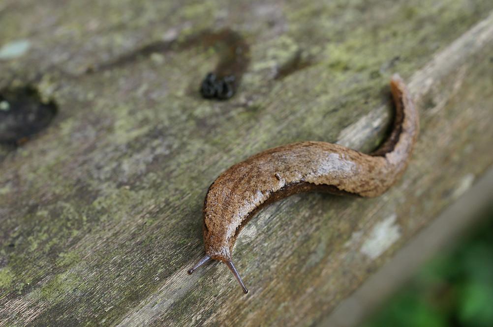 37-雙線蛞蝓