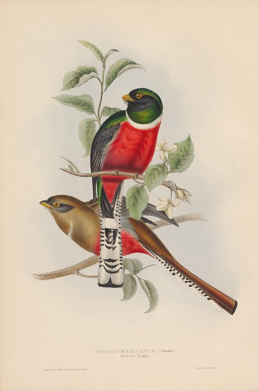 1830s ornithological book illustration by John Gould