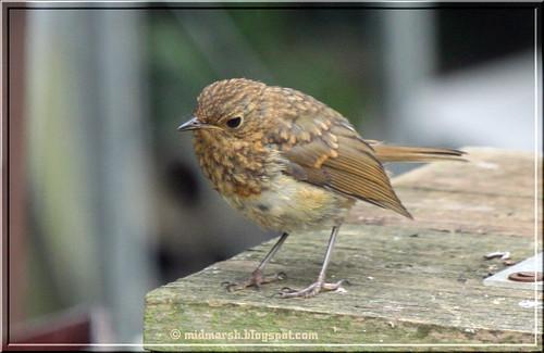Juvenile Robin 2
