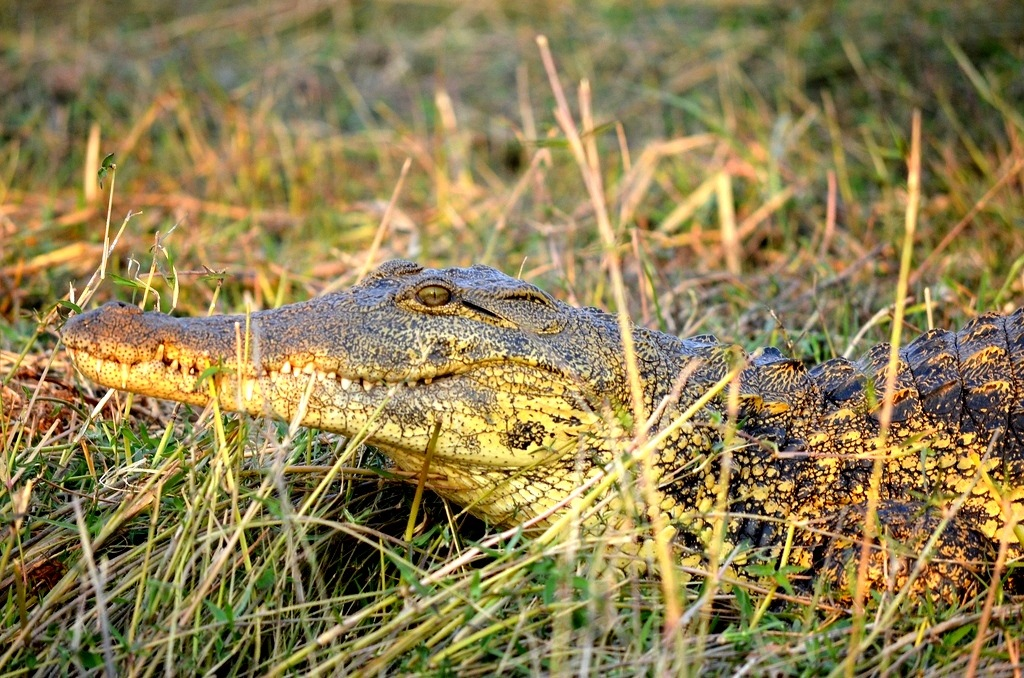 Crocodile Zambezi Queen