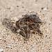 Hermit Crab / Bernard L'Hermite (Paguroidea)