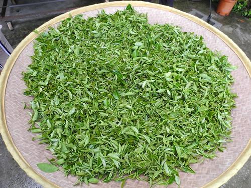 採好的茶葉放到竹簍中發酵。