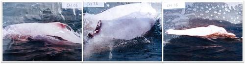 可明顯看見的傷痕都在背部,都是遭到船隻螺旋槳打傷或者魚網纏勒潰爛。照片翻攝自香港海豚保育學會Photo ID