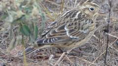 animal, sparrow, fauna, beak, bird, lark, wildlife,