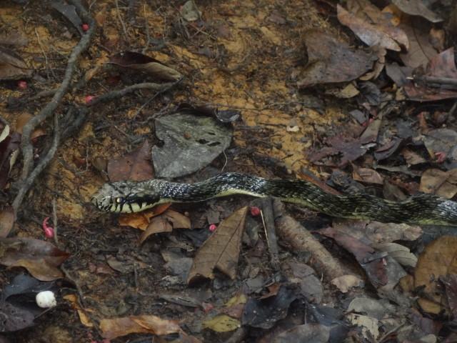 serpent pseutes sulphureus