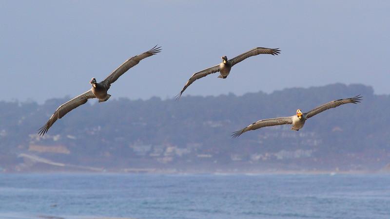 IMG_1596 California Brown Pelican at La Jolla