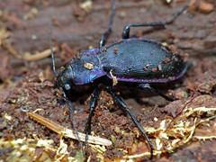 Violet Ground Beetle (Carabus purpurascens laevicostatus) hibernating in dead wood