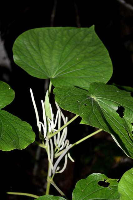 Piper umbellatum DSC_0260 (6)