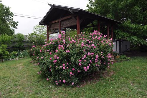 'Old Blush' rose