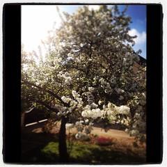 #whitagram #pommier #japonais #spring #IleDeFrance #SeineEtMarne # - Photo of Reuil-en-Brie