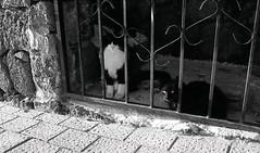 Lanzarote Cats