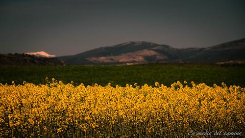Campos dorados / Golden countrysides
