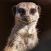 Meerkat ♥