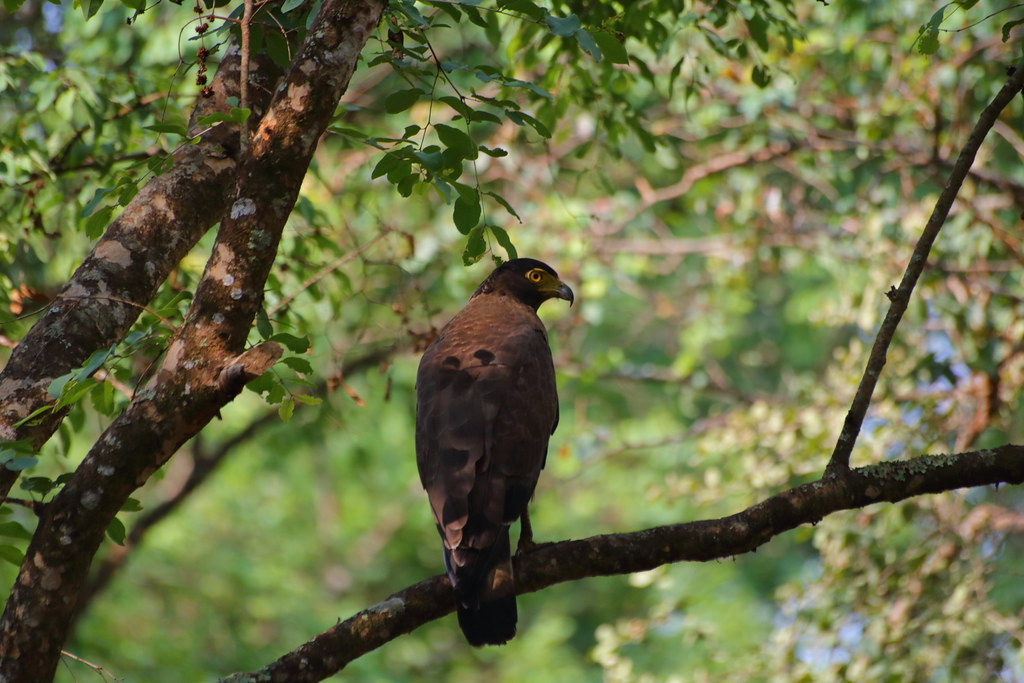 Crested Serpent Eagle again
