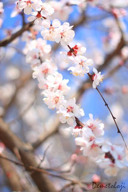 bahar dalları_4