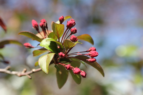 8971 Crabapple Tree flower buds