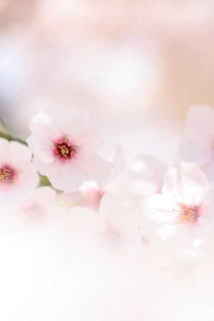 Sakura 32 2011