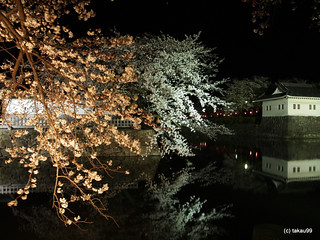 Cherry blossoms light up