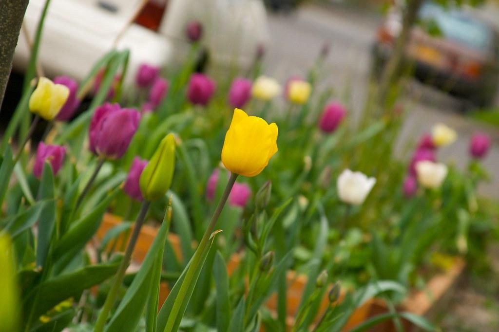 tulip  1422