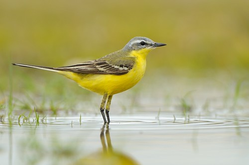 Blue-headed wagtail (Motacilla flava)