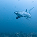 Thresher shark 5