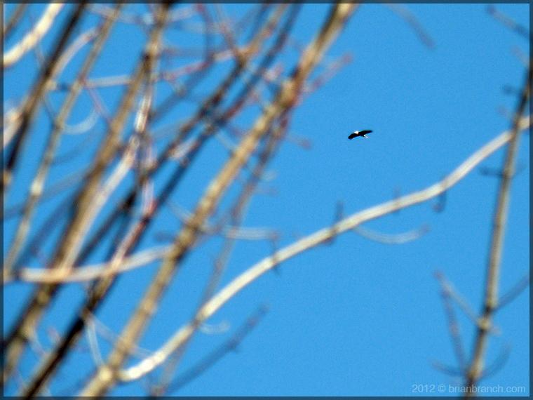 P1230557_Pygargue_Bald_Eagle