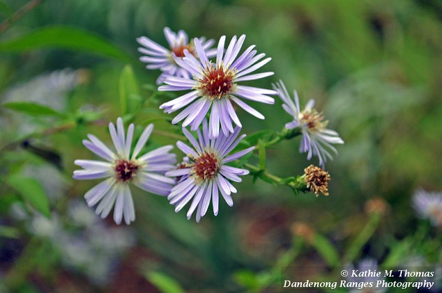 Purple Rock Daisy