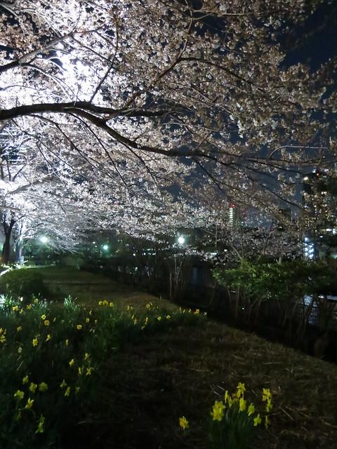 Sakura & night river