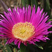 Carpobrotus aciniaciformis, Red Hottentot Fig (Ken Williams)