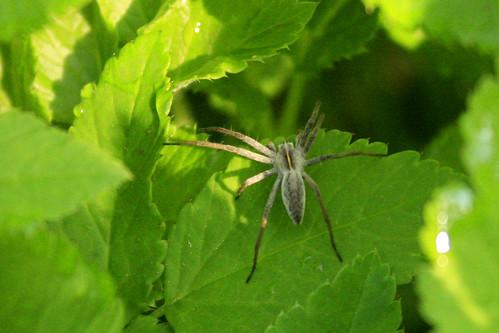 Slightly fluffy spider