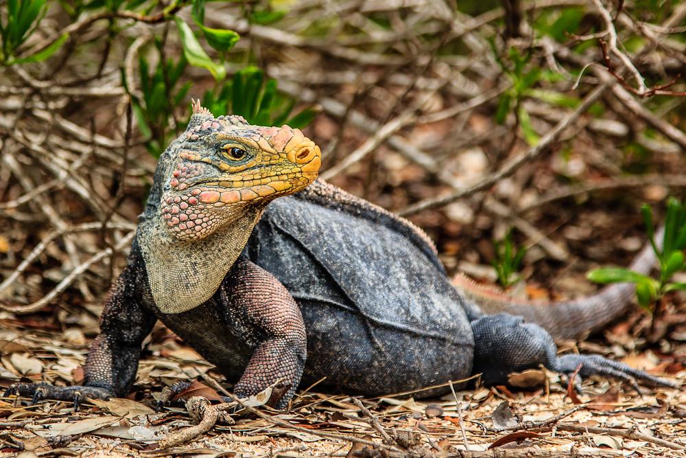 Andros Rock Iguana