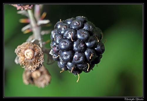Mûre (Rubus fruticosus)
