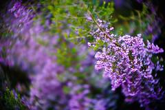 <<Purple>>