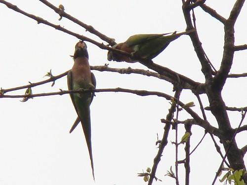 park india bird sony cybershot national parakeet redbreasted westbengal alexandri h50 psittacula garumara