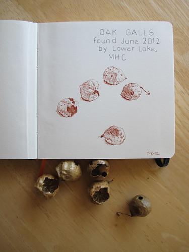 Oak Galls and Oak Gall Drawing_1