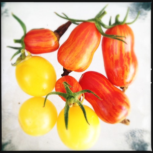 today's tomatoes... by credd