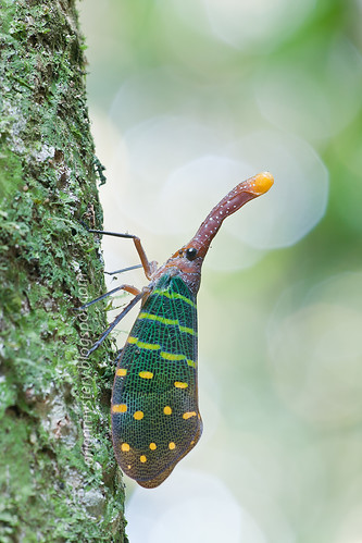 Pyrops intricata lantern bug of malaysia/ lanternfly IMG_7105b copy