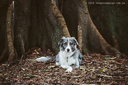 Tale of Artex the blue merle Border Collie on a Sydney Winter Afternoon. Sydney Award Winning Pet Photographer, twoguineapigs pet photography.
