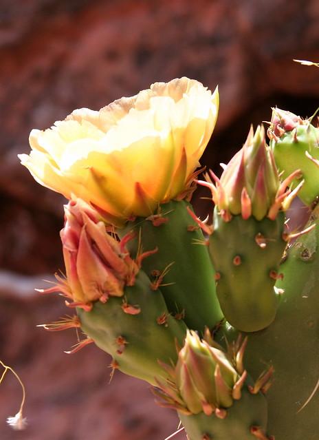 Buds & Flower - Zion Park
