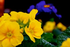 pansy(0.0), annual plant(1.0), flower(1.0), yellow(1.0), plant(1.0), macro photography(1.0), flora(1.0), herbaceous plant(1.0), petal(1.0),