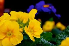 annual plant, flower, yellow, plant, macro photography, flora, herbaceous plant, petal,
