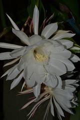 moonlight cactus(0.0), plant(0.0), epiphyllum anguliger(0.0), cactus family(0.0), caryophyllales(0.0), flower(1.0), flora(1.0), epiphyllum oxypetalum(1.0), epiphyllum crenatum(1.0),