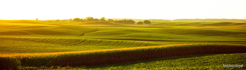 Golden light over corn fields in Minnesota..