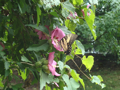 butterfly and rose of sharon
