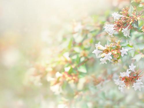 花園衝羽根空木