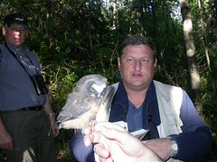 Northern Saw-whet Owl with radio transmitter