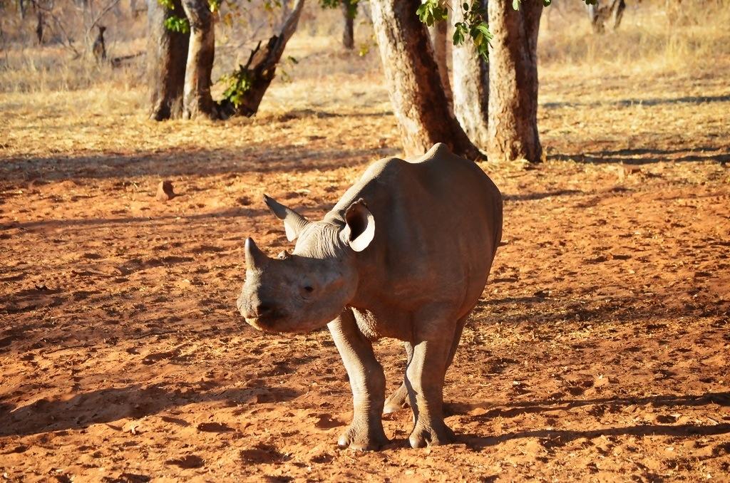 Black rhino Stanley and Livingstone Resort