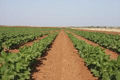 cotton under nutrient crediting trials