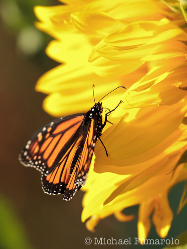 October Monarch & Sunflower - 03